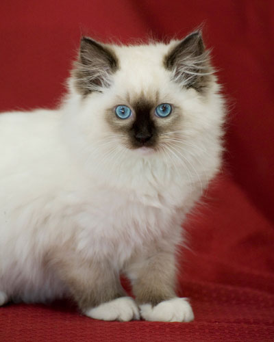 Ragdoll cat breeders perth